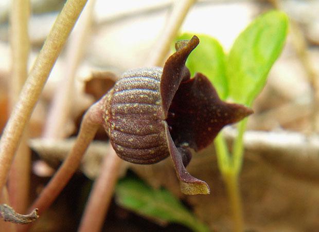ウスバサイシンの花の側面  2009.05.09  山梨県北杜市