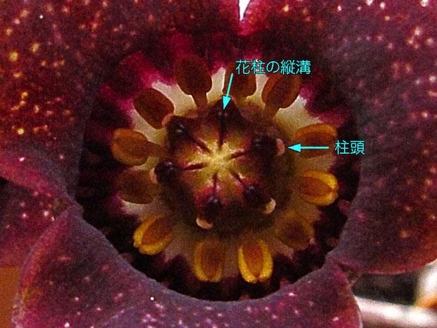 ウスバサイシンの花の中心部の様子