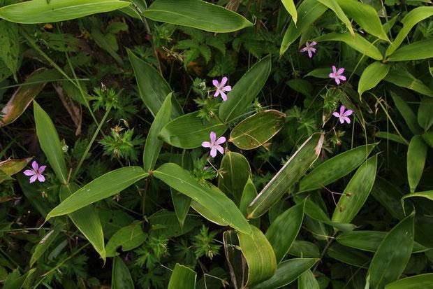 ハクサンフウロ  草原を覆い尽くすササの中で必死に咲いているように見えた