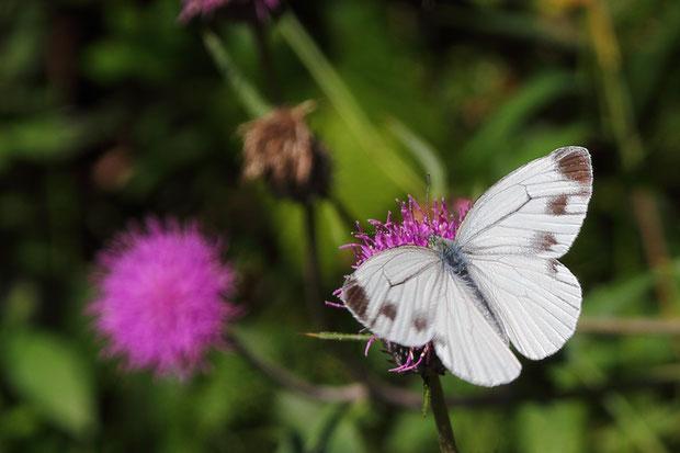 スジグロシロチョウ (筋黒白蝶) シロチョウ科 モンシロチョウ属