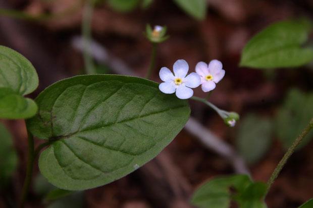 葉が亀の甲羅を連想させることが亀葉草の名の由来。 咲き始めの花は淡い青色や桃色になるようです