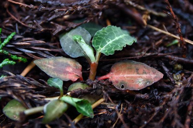ベニシュスランは常緑性。 赤みがかった葉は越冬葉か。 新しい葉は巻かれた状態から展開する