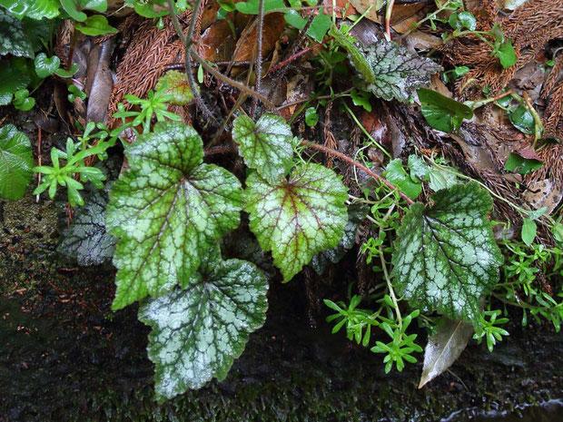 #2 タキミチャルメルソウの根生葉