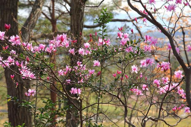 ミツバツツジ (三葉躑躅) ツツジ科 ツツジ属  丘の頂上付近の日当たりのよい場所に咲いていた
