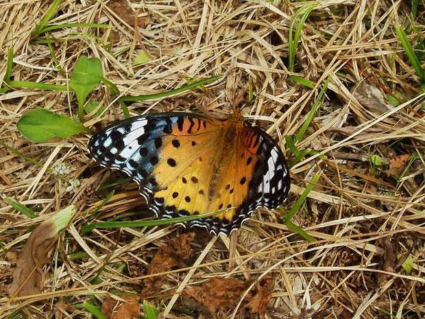 ツマグロヒョウモン (褄黒豹紋蝶) タテハチョウ科