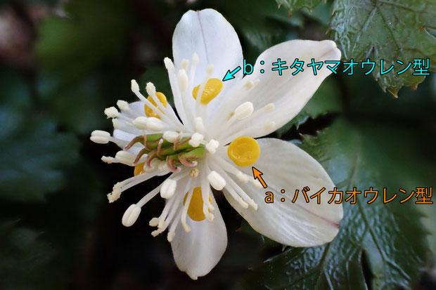 #16 キタヤマオウレン? の花