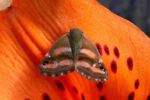 ベッコウハゴロモ  2011.07.30 千葉県