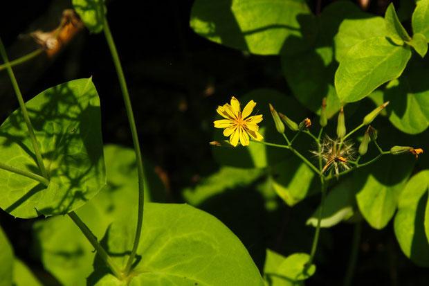 茎葉の縁には、数個のトゲ状の微突起がありました(写真左側の葉) 花はニガナとよく似ます