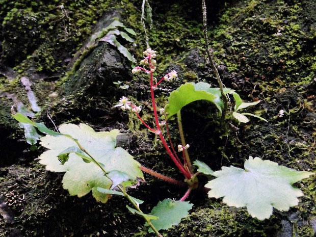 #8 イズノシマダイモンジソウの茎の赤味が強い個体