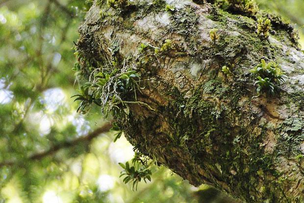 マツラン(ベニカヤラン)がいくつもついている木があった。 来年ぜひ花を見てみたい