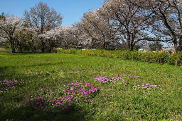 それでもよく探せば、ある程度の数がまとまって咲いている場所もあった。 規模は小さいが...