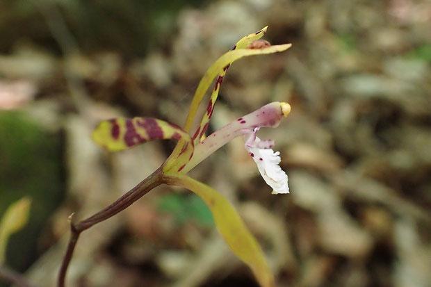 トケンランの花の側面  長く伸びた蕊柱はサイハイランとそっくり