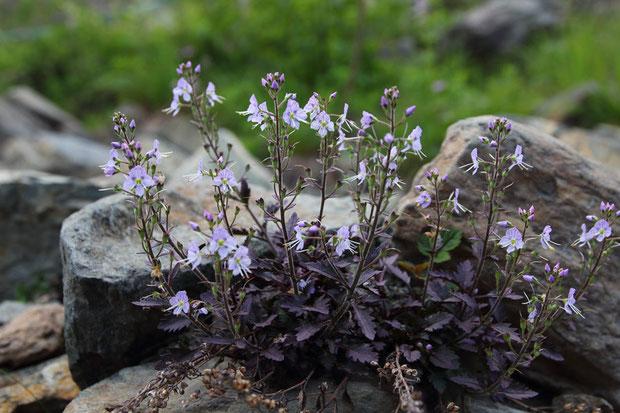 ミヤマクワガタ (深山鍬形) オオバコ科 ルリトラノオ属  お初の花です!