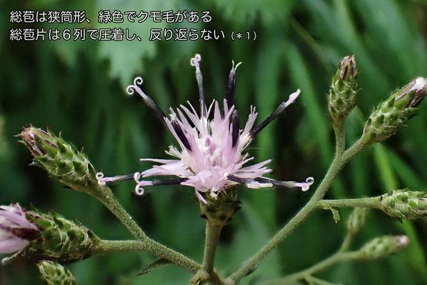 タンザワヒゴタイの花
