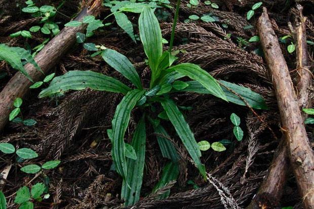 キンセイランの葉