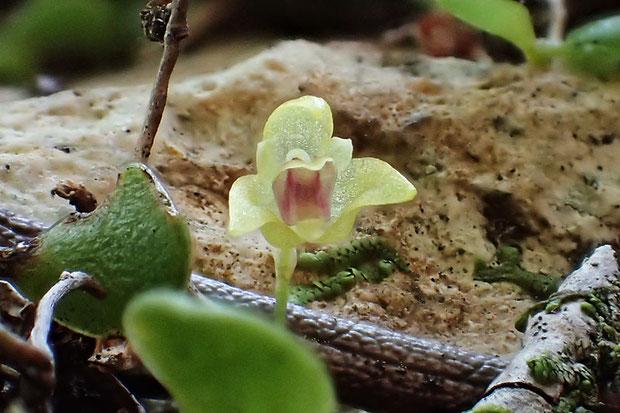 #12 マメヅタランの花