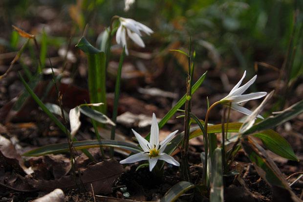 ヒロハノアマナの葉の幅が5〜10mmとアマナより広いことが名の由来 葉の中央に白っぽい線があります