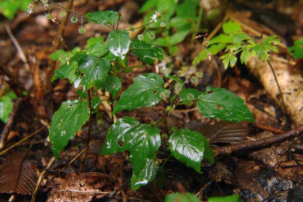 タニタデの葉の鋸歯は浅く、数も少ない。 葉の基部は円形~浅い心形   2007.08.18 群馬県吾妻郡