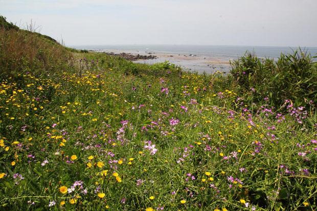 海岸には多くの花が咲き乱れていました。 ピンク色はハマダイコンです