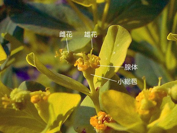 #9 ノウルシの杯状花序の詳細ー1(雄性期、雄花、雌花、腺体、小総苞)