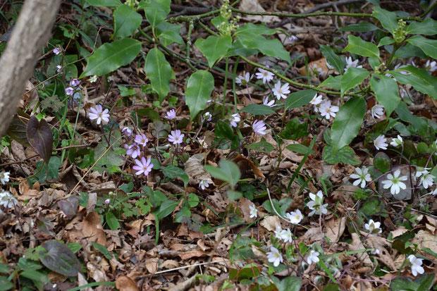 白色ばかり、ピンク色系はわずかで、期待外れ。 しかも数は多いのに花の形状や大きさに個体差が少ない