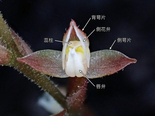 ヤクシマアカシュスランの側萼片はカゲロウランのように内側に巻き込まない。 黄色い部分は花粉塊か