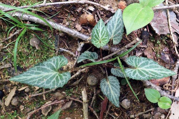 ミツモリスミレの葉 フイリフモトスミレの斑紋とマキノスミレの形状を併せ持つ
