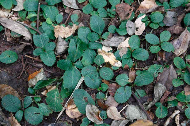 ヤマジオウの葉ではなかった。 もしかすると、イワボタン?