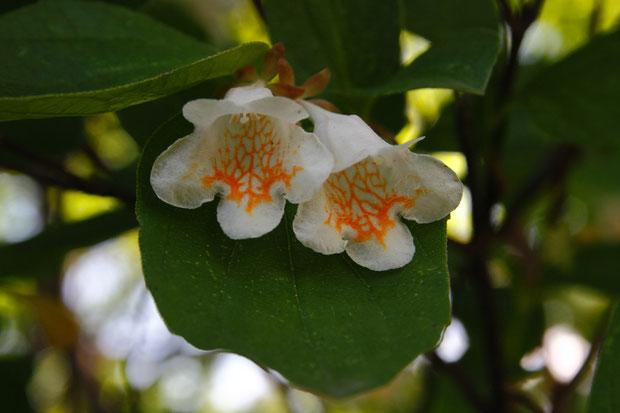 ツクバネウツギ 果実がプロペラ状の萼片をつけて羽根突きの「衝羽根」に似ることが名の由来