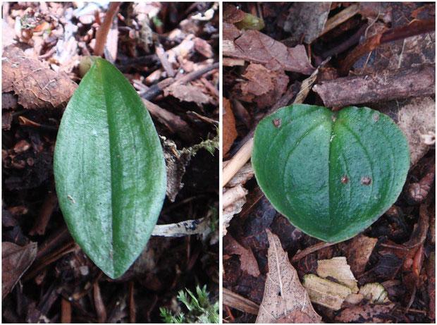 左が今回、右が6月の別の場所の葉。今回のは明らかに細長い(この写真で大きさの比較はできません)
