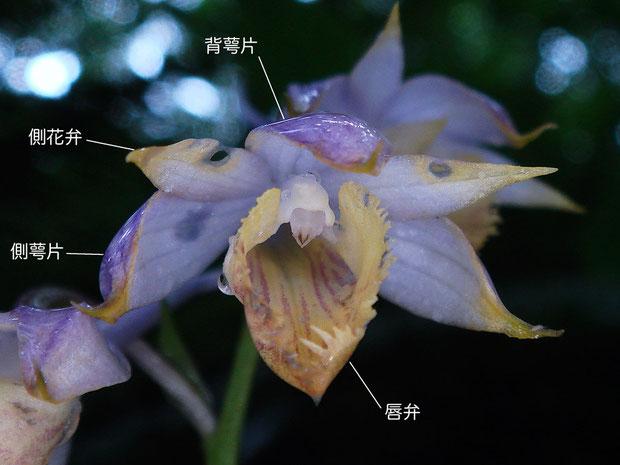キソエビネの花の構造(背萼片、側花弁、唇弁)