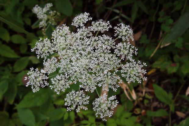 シラネセンキュウは沢沿いや湿った林縁などで見られます。 花序は平な皿型。 花は外側から咲き出します