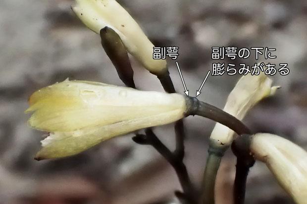 #10 副萼とその下の膨らみ