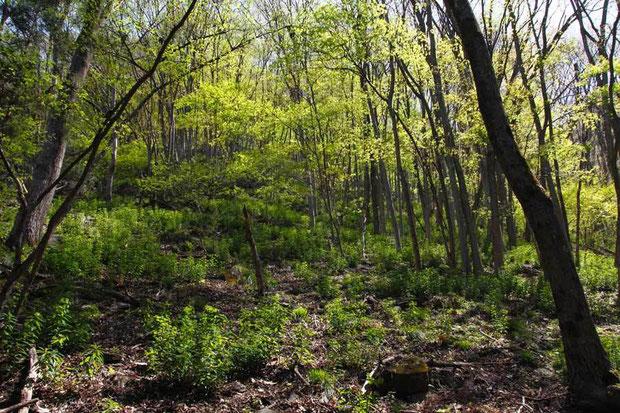 落葉樹の林下に広がるマルミノウルシの自生地。斜面の上の方まで多数生えていました。