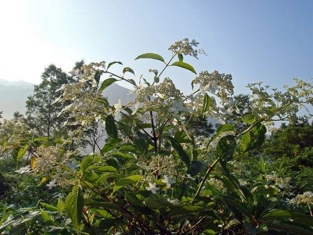 ノリウツギ (糊空木) アジサイ科 アジサイ属 Hydrangea paniculata