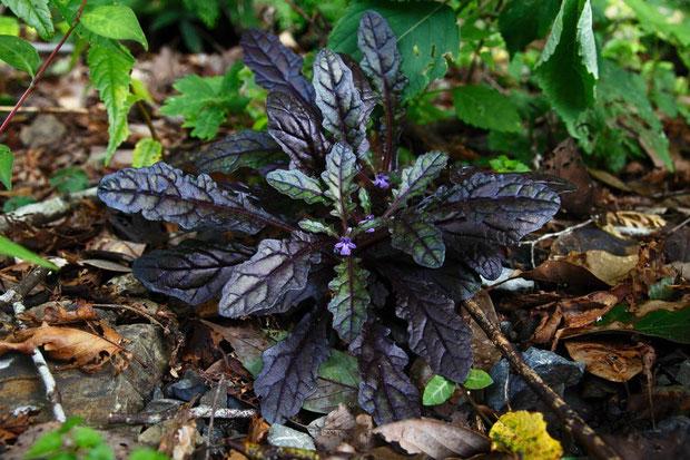 タチキランソウ (立金瘡小草) シソ科 キランソウ属  相方は葉の色が大いに気に入ったようだ