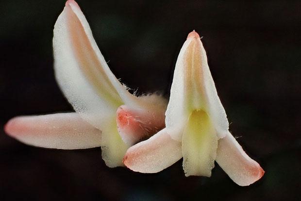 ベニシュスランの花 背萼片と側花弁が合着 唇弁の先端は後ろに反り返っている