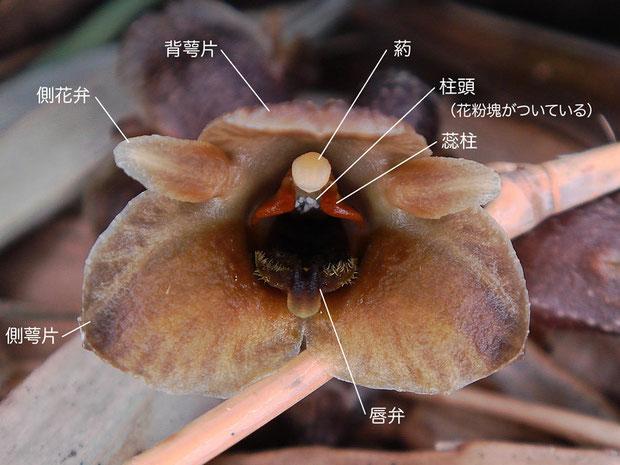 クロヤツシロランの花の構造(背萼片、側花弁、側萼片、唇弁、蕊柱、柱頭、葯、花粉魁)