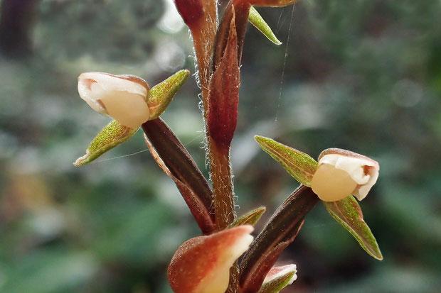 カゲロウラン なんともかわいい花です。 側萼片は上下が少し内向きに巻き込んでいるので、細く見えます