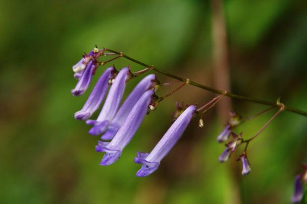 セキヤノアキチョウジ  アキチョウジより花柄が長く、萼裂片がとがる