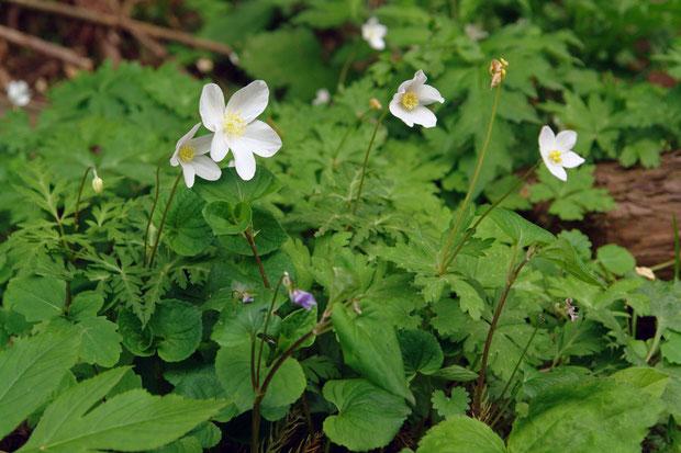 #3 2個の花をつけたイチリンソウ 2006.05.06 新潟県西蒲原郡 alt=147m