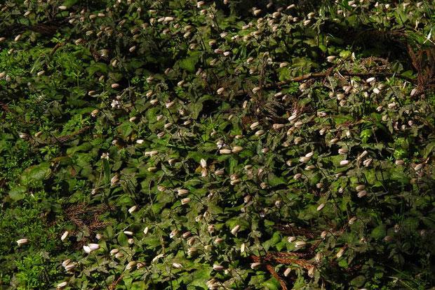 ユキワリイチゲ (雪割一華) キンポウゲ科 イチリンソウ属  2014.03.22 滋賀県