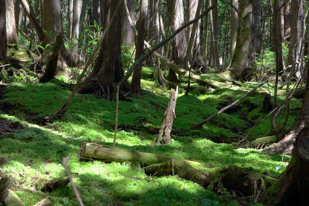 森の中には美しい苔エリアがあちこちにあった。 ここは苔の森だ