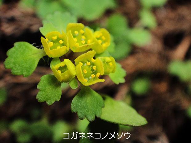 コガネネコノメソウ (黄金猫の目草)  2010.04.04 岐阜県 奥美濃
