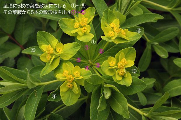 #6 花序全体の様子 2011.04.30 渡良瀬遊水地 alt=17m