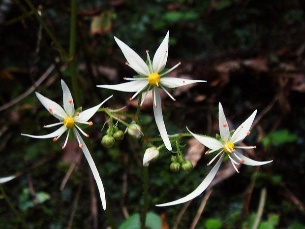ダイモンジソウ バランスよく「大の字」になって葯もきれいな花は、なかなかないね