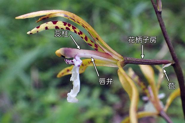 #12 トケンランの花の側面  唇弁が蕊柱を支えているように見える