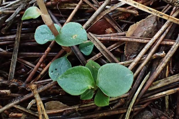 ヤクシマヒメアリドオシランの葉  長さは7〜8mmほど