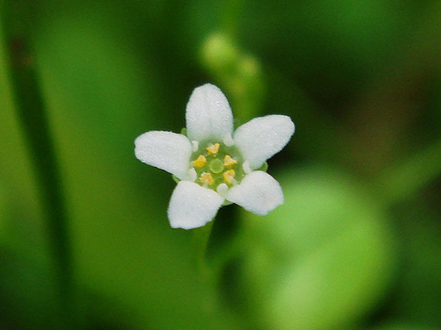 ハイハマボッスの花