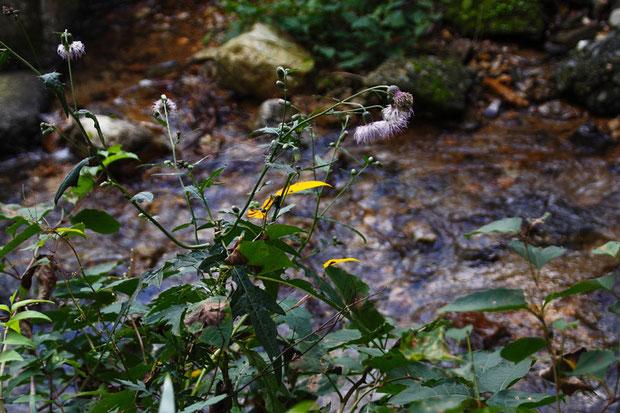 スズカアザミ (鈴鹿薊) キク科 アザミ属  分布域では珍しくないそうですが、お初の花です